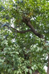 Hochentaster zum Bäume auslichten